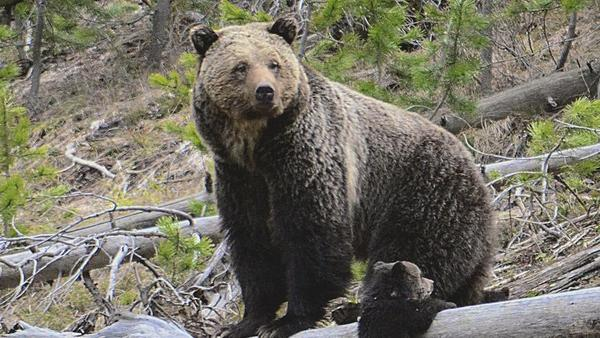 Scientist: Grizzly bear conflicts 'will not go away'