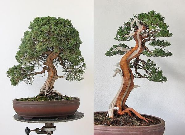Same bonsai tree. The right side is after expert pruning.