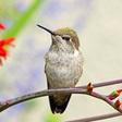 The Amazingly Cool Anna's Hummingbird Scoffs at Winter | The Tyee