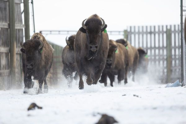 Scientists and Indigenous leaders team up on project to revive purebred bison population