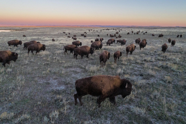Two visions collide amid push to restore Montana plains