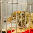 DNA tests confirm coyote captured last week bit 6-year-old boy