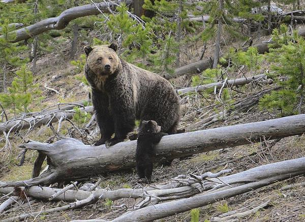 Long-closed road bisecting grizzly habitat to reopen following national security concerns