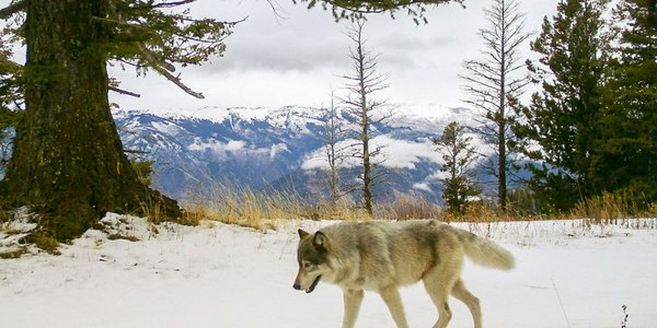 Why Colorado's wolf initiative is causing howls if 'ballot box biology'