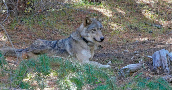 The lonely end to one gray wolf's 8,700-mile search for a mate