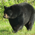 Federal Government Rejects Effort to Ban Bear Baiting on Federal Lands in Idaho and Wyoming