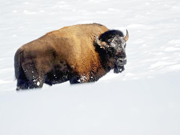 Dozens of Yellowstone bison killed by hunters near Gardiner