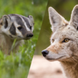 What a Viral Video of a Coyote and Badger Says About Interspecies Duos - Atlas Obscura