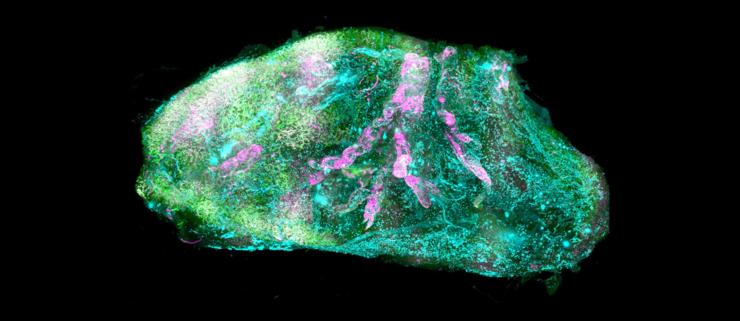 Forskere gør organer gennemsigtige