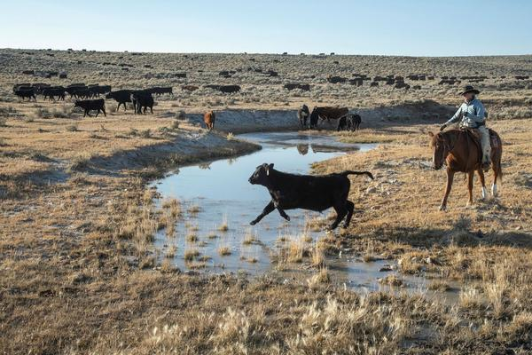 How beef eaters in cities are draining rivers in the American West