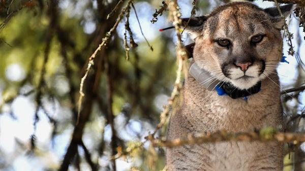 Research in northeast Washington looks at effectiveness, long term impacts of hazing mountain lions