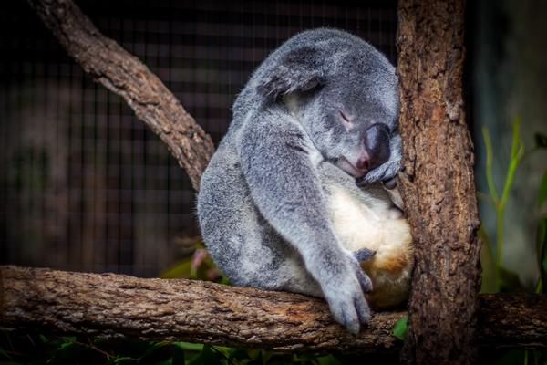 Teach us your ways, Sleepy Koala