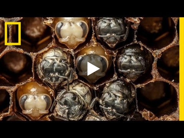 Amazing Time-Lapse: Bees Hatch Before Your Eyes   National Geographic