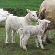 Lammetjesdagen bij Boerderij Buitenverwachting