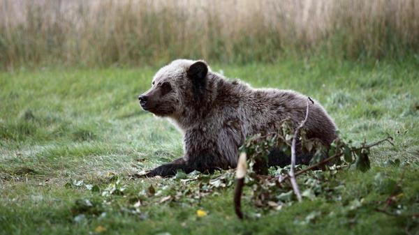 Five groups sue to block reopening of road bisecting key grizzly habitat in Idaho