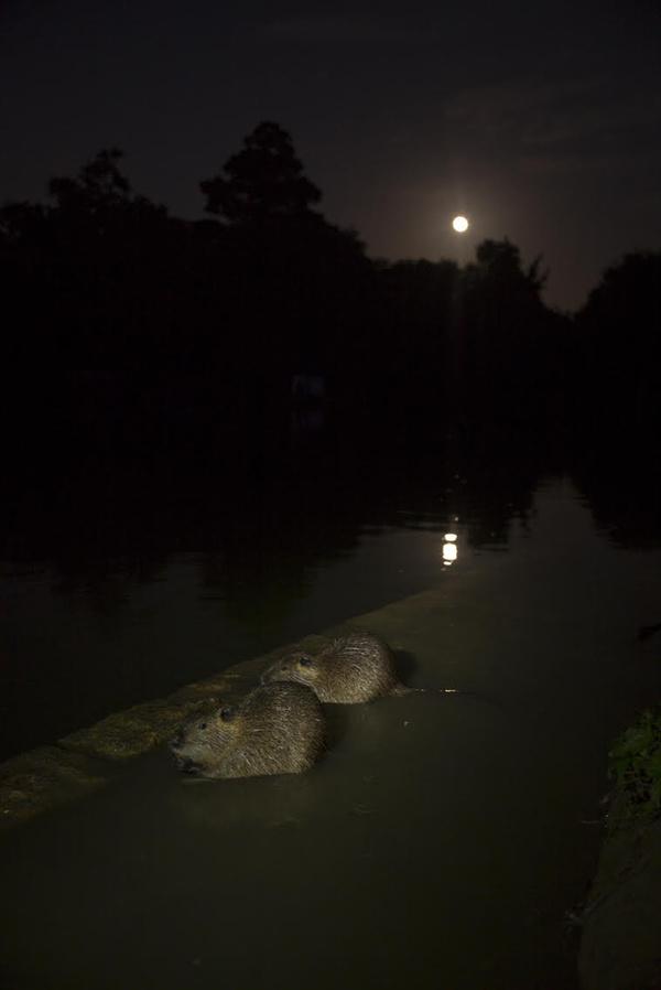 #Trace 3, sur la piste de l'homme animal. Les invisibles (deux ragondins marseillais sous la pleine lune)  Hélène David