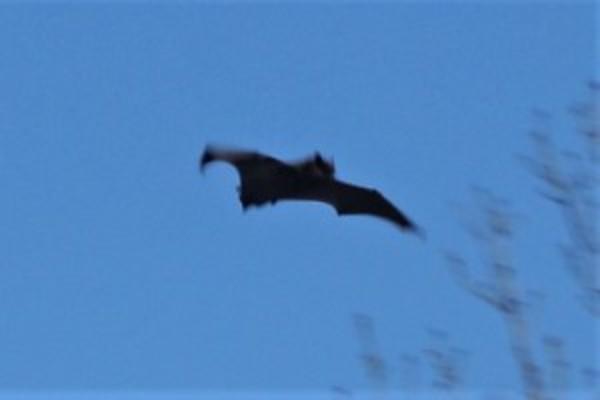 Foeragerende vleermuis Jagersplas in de ochtend! | De Orkaan