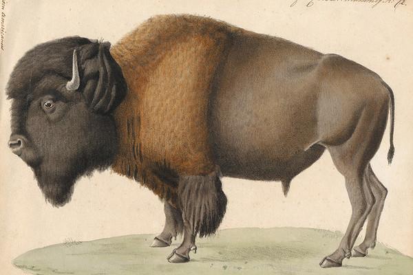 Where the Bison Roam—Again?