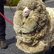 Shrek, The Sheep Who Escaped Shearing for 6 Years | Amusing Planet