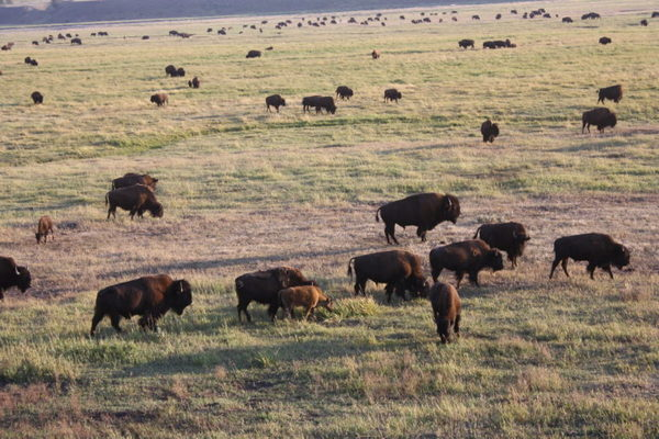 Study says Yellowstone's bison are exerting an unhealthily heavy footprint