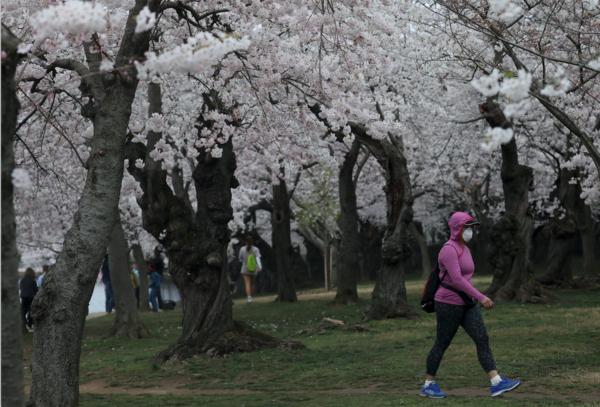 Kersenbloesem in bloei in Washington D.C. (foto: Reuters)