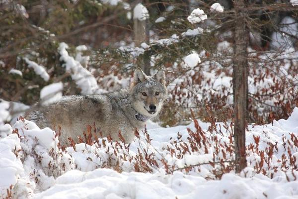 Wisconsin Gray Wolf Hunt Could Be Making A Comeback