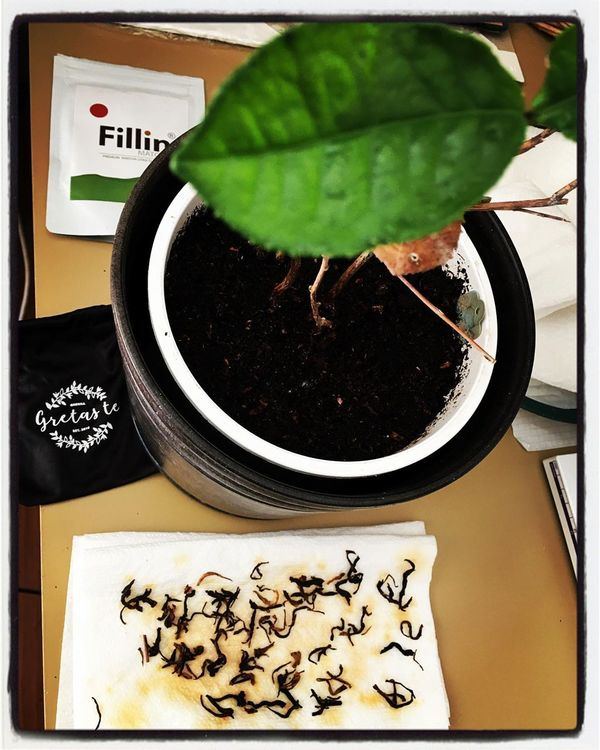 """Martin Lindeskog🗽🌐💎☕️🍵🙃's Instagram profile post: """"The Camellia sinensis plant 🌱 could work as a symbol for my passion for tea, and my vision to spread better ideas 💡 regarding new media,…"""""""