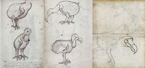 """A compilation of the first depictions of the now-extinct dodos (if you want to be fancy and call them correctly - Raphus cucullatus) on the island Mauritius (Indian Ocean), made during the voyage of the VOC Gelderland in 1602. The caption reads """"These birds are caught on the island of Mauritius in large quantities because they are unable to fly. They are good food and often have stones in their stomachs, as big as eggs, sometimes bigger or smaller, and are called 'griffeendt' or 'Kermis goose'."""" It is rumored the dodos finally went extinct in 1680 or 1681 as a result of being easy meat for sailors and other animals because they were nice and chunky and also couldn't fly. Something of a cross between a chicken and a duck. I mention dodos because I get the feeling that as humans we could easily go extinct if we continue with our stupidity of not letting science lead the way and more scarily, just mostly being good at consumption and not producing much to sustain the planet or ourselves in a sustainable manner. 📷 Fuller, Errol: Dodo - From Extinction To Icon, 2002"""