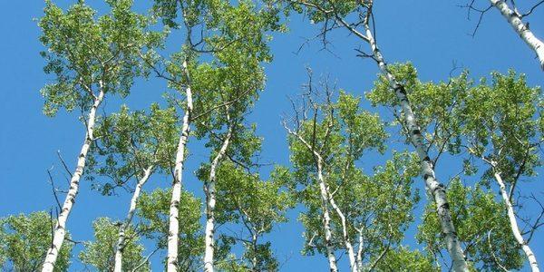 No studies link Covid19 to pollen, Kashmir govt still wants to cut  42,000 Poplars