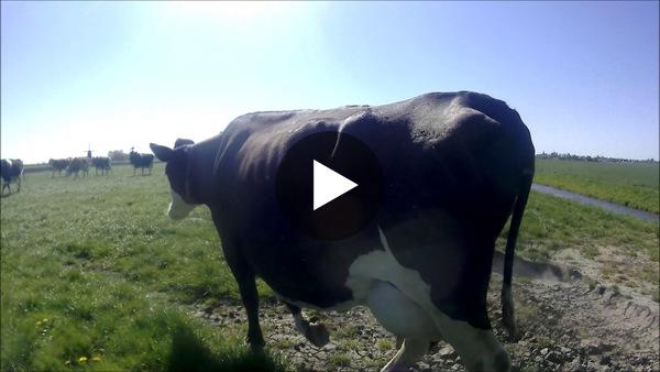 LEIMUIDEN - Koeiendans Kampeerboerderij Straat-Hof (video zonder geluid)
