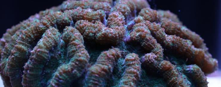 Nyt håb for koralrev