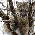 Colorado mountain lions hit with new hunting plan as people spread