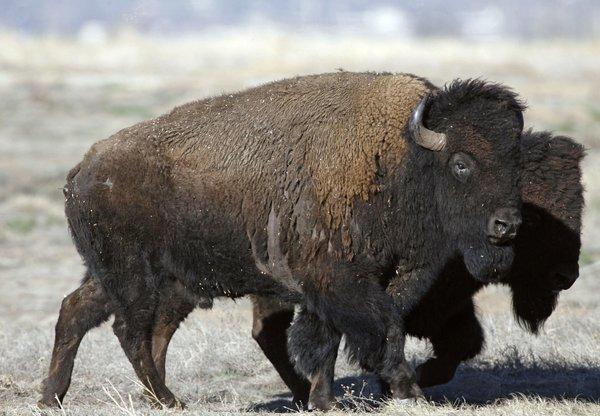 Bison transfers planned for U.S. park, Indian reservation