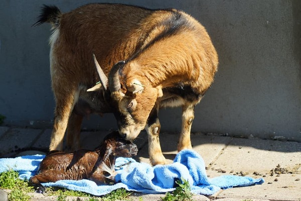 Elze bevallen van twee geitjes