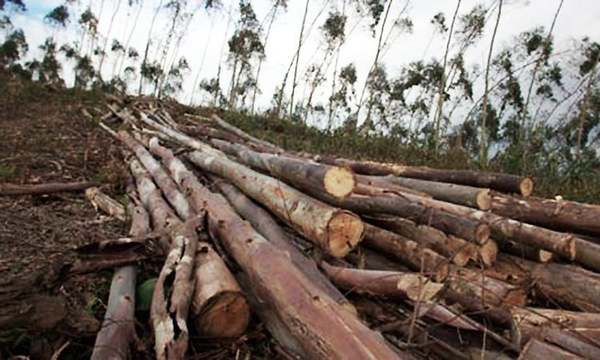 Amid Lockdown, timber mafia chops 1,000+ trees in Indore