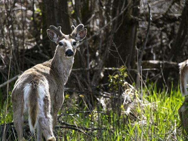 Chronic wasting disease found in Gallatin County