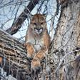 Colorado wildlife agency's past research raises questions about mountain lion hunting levels