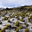 Fuzzy green 'glacier mice' move in groups and puzzle scientists