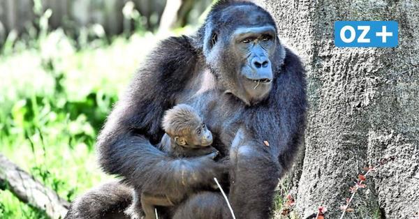Gorillas, Kattas, Rentiere: Diese Tierbabys sind jetzt im Rostocker Zoo zu sehen