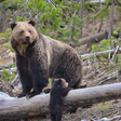 Montana's grizzly bear council struggles to find shared vision