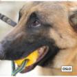 Badania pokazują, że psy mogą z powodzeniem rozpoznać zapach COVID-19 z potu spod pach