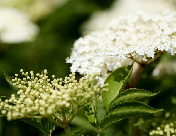 Vollreife Holunderblüten (rechts im Bild) sind perfekt für Sirup. Foto: dpa