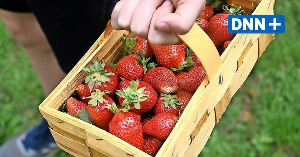 Saison eröffnet: Wo man in Dresden und der Region Erdbeeren pflücken kann