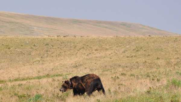 Montana confirms most eastward grizzly bear sighting in living memory
