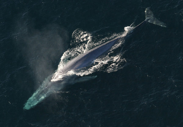 "A ""Possible Record"" Number of Blue Whales at the Farallones - Bay Nature"