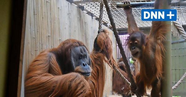 Jetzt wird es konkret: Planung für neues Orang-Utan-Haus im Dresdner Zoo ist fertig