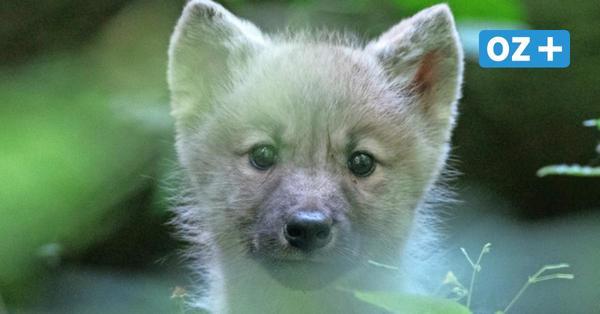 Gesundheitscheck im Zoo Stralsund: Polarwolf-Nachwuchs in Top-Zustand