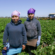 Migrant students work in fields during COVID school closures   CalMatters