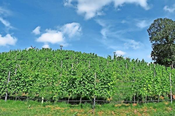 Namensgeber für den Havelstadt-Wein: der Marienberg. Foto: Norman Giese