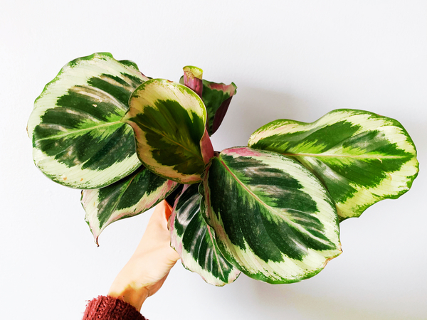 The Calathea Shining Star: newly purchased to celebrate a career win.